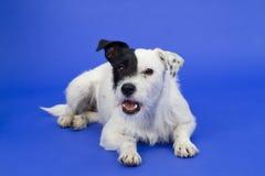 Black and white dog on blue background Stock Photo