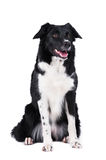 Black and white dog border collie isolated Royalty Free Stock Photo