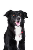 Black and white dog border collie isolated Stock Image