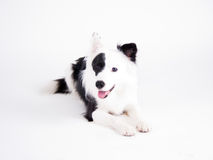 Black and white dog (37) Royalty Free Stock Photo
