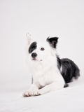 Black and white dog (39). Border collie mixed breed, studio shot Stock Photography