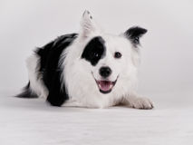 Black and white dog (41) Royalty Free Stock Photo