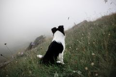 Black and white dog border collie sit in fog on field with flowers royalty free stock images
