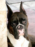 Black and White Dog Boxer Royalty Free Stock Photo