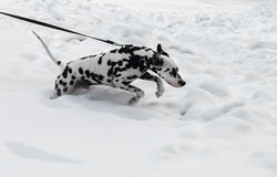 Black and white dog breed Dalmatian Royalty Free Stock Photos