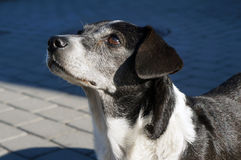 Black and white dog. Stock Photography