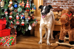 Black and white dog in Christmas Stock Photo