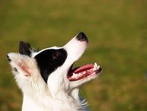 Black and white dog close-up (1) Stock Photo