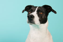 Black and white dog Stock Photography