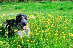 Black and white dog in flowers. Scruffy black and white dog lying in a field of yellow flowers Stock Photography