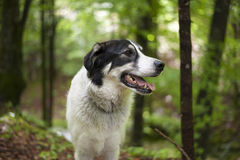 Black and white dog in the forest. Portrait of a black and white dog in the forest Royalty Free Stock Images
