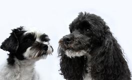 Black and white dog friends. Two black and white dogs, a pure breed harlequin poodle and a crossbreed maltese shih tzu dog sitting side by side . The poodle is Stock Photos