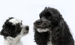 Black and white dog friends. Two black and white dogs, a pure breed harlequin poodle and a crossbreed maltese shih tzu dog sitting side by side . The poodle is Royalty Free Stock Photography