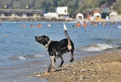 Black and white dog frolicking on the beach Royalty Free Stock Image