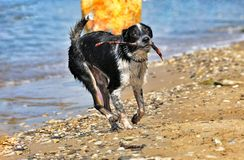 Black and white dog frolicking on the beach Royalty Free Stock Photo