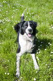 Black and white dog on green grass Royalty Free Stock Images