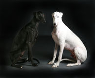 Black and white dog. Black and white greyhound dog together in studio making contrast Stock Photo