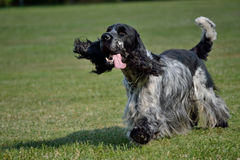 Black-and-white dog hangs out tongue. Black-and-white English Cocker Spaniel runs with tongue out stock photography