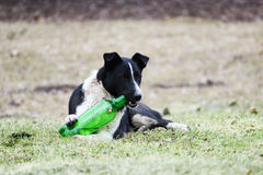 Black and white dog lies on the grass and tries to open a plastic green bottle with lemonade. Black and white dog lies on the grass and tries to open a plastic Royalty Free Stock Photography