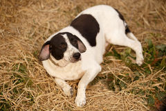 Black and White Dog Lies on Manger Royalty Free Stock Photography