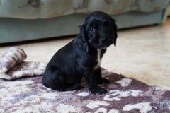 Black and white dog looks royalty free stock photo