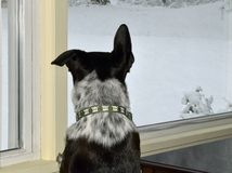 Black & White Dog Looks at snow out the Window. Back view of a black and white mixed breed dog looking  at  the snow out the window on a winter day Royalty Free Stock Photos