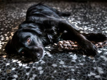 Black and white dog lying on floor, lit by doorway. Royalty Free Stock Photos
