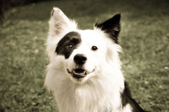 Black and white dog (8) border collie mix. A black and white dog in the meadow, close-up, border collie mixed breed, front view stock photography