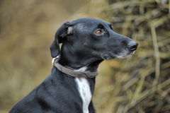 Black and white dog Royalty Free Stock Photos