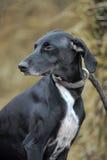Black and white dog Royalty Free Stock Image