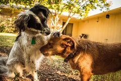 Two dogs showing affection royalty free stock image