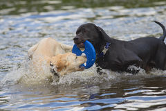 Black and white dog are playing in the water. Royalty Free Stock Image