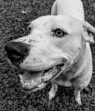 Black and White dog portrait royalty free stock photo