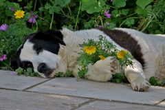 Black and white dog resting in the grass royalty free stock images