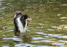Black and white dog - Rough Collie in water Stock Image