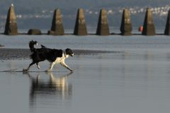 Dog running into water on a beach. A black an white dog running into the water on Cramond Beach royalty free stock photos