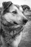 Black and white dog's portrait Stock Images