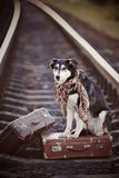 Black-and-white dog sits on a suitcase on rails Royalty Free Stock Images