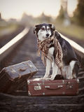 Black-and-white dog sits on a suitcase on rails Royalty Free Stock Photos