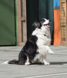Black and white dog. Royalty Free Stock Photos