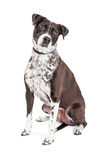 Black and White Dog Sitting Tilting Head. Beautiful black and white color mixed breed medium size dog sitting on white background tilting head Royalty Free Stock Photo