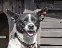 Black and white dog smiling on the background of a wooden booth royalty free stock images