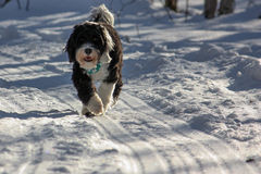 Black and white dog on a snow covered trail Royalty Free Stock Photo