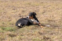 Black and white dog in spring. Appenzeller Mountain Dog. Huge dog chewing on a stick.  stock images