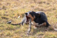 Black and white dog in spring. Appenzeller Mountain Dog. Huge dog chewing on a stick.  stock photo