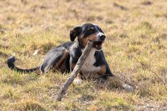 Black and white dog in spring. Appenzeller Mountain Dog. Huge dog chewing on a stick stock photo