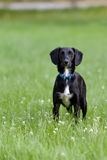 Black and white dog standing in grass staring intensely at camera. Black and white dog staring directly at camera in green grass in summertime. Mixed breed Royalty Free Stock Photography