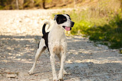Black and White Dog Stands outdoor Shows Tongue Royalty Free Stock Image