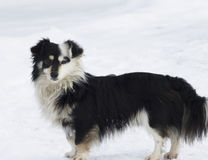 Black and white dog stares. At the snow. Horizontal shot. It's a nasty day Stock Images