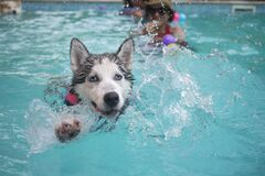 Black and White Dog Swimming on Pol Stock Image